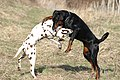 Dalmatian and Dobermann fight.jpg