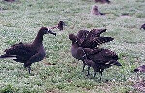 Black-footed albatross - Image: Dance of Black footed Albatrosses 1