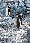 Danco Island Antarctica Gentoo Penguins (47337012761).jpg