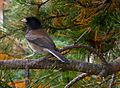 Dark-eyed Junco (2360540698).jpg