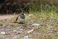 Dark-eyed Junco (Junco hyemalis) near Smithers, BC.jpg