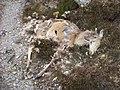 Dead deer - geograph.org.uk - 798544.jpg