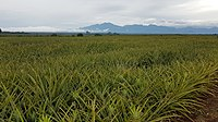 Del Monte Pineapple field at Camp Philips, Bukidnon, Philippines 03.jpg