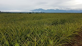 Bukidnon - Del Monte Pineapple fields with the Kitanglad Mountain Range in the background from Camp Phillips, Manolo Fortich