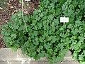 Delairea odorata - Copenhagen Botanical Garden - DSC08019.JPG