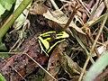 Dendrobatidae peru 13-9-07 970.JPG