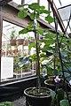 Dendrocnide moroides (Gympie Gympie).jpg
