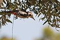 Dendrocopos syriacus, Israel.jpg