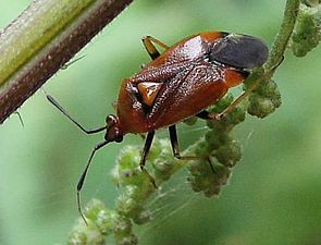 Deraeocoris ruber, Miridae
