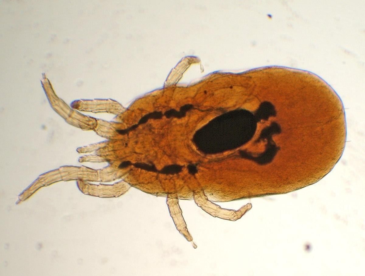Dermanyssus-gallinae.jpg