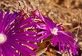 Desert Flowers (37690654102).jpg