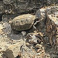 Desert tortoise at Red Rock National Conservation Area.jpg