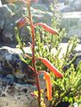 Detail of Aloe decumbens inflorescence.jpg