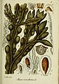 Deutschlands flora in abbildungen nach der natur (1832) (20863273276).jpg