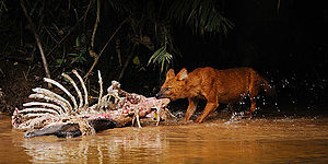 Khao Yai National Park - Dhole feeding at a sambar carcass in Khao Yai