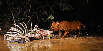 Khao Yai National Park - Dhole feeding on a sambar carcass, Khao Yai