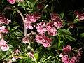 Dianthus barbatus (2).JPG