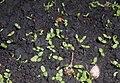 Dianthus barbatus 2016-05-23 1280.jpg
