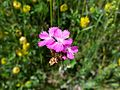 Dianthus carthusianorum (14705322533).jpg