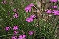 Dianthus deltoides-2.jpg