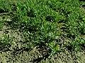 Dianthus deltoides 2019-09-22 4482.jpg