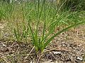 Dichopogon strictus leaf2 SWS (15628816742).jpg