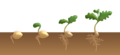 Dicotyledon flower germination - hypogeal.png