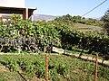 Didov vinograd prije jematve - panoramio.jpg