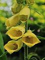 Digitalis grandiflora 03.JPG