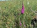 Digitalis near Solfach - Green Scar, Solva, Sir Benfro Pembrokeshire, Wales 03.jpg