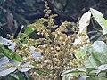 Dimocarpus longan flowers at Periya 2018 (3).jpg