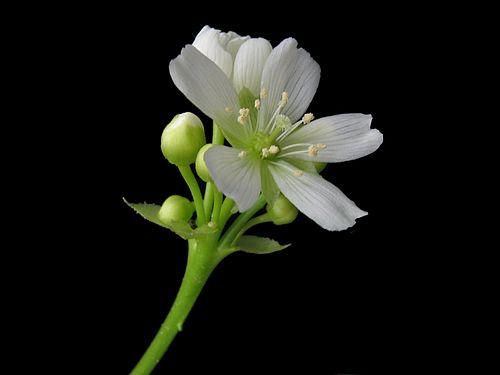 http://upload.wikimedia.org/wikipedia/commons/thumb/0/02/Dionaea_muscipula_bluete.jpeg/500px-Dionaea_muscipula_bluete.jpeg