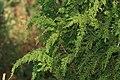 Diselma archeri (Tasman Juniper) (31294851915).jpg