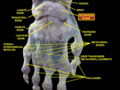 Dissection of the human hand - 01 - scaphoid bone.png