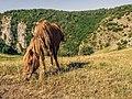 Divlji konj ,Uvac 02.jpg