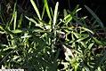 Dodonaea viscosa angustifolia 1zz.jpg