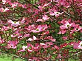 Dogwood-pink-flowering-tree - West Virginia - ForestWander.jpg