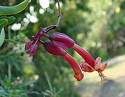 Dolichandra cynanchoides (8397445164).jpg