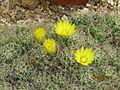 Dolichothele (Mammillaria) longimamma (3773333346).jpg