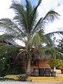 Dominica coconut.JPG