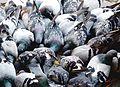 Doves in Rome Italy Roma - Creative Commons by gnuckx (3208885410).jpg