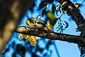 Downy woodpecker (39199654342).jpg