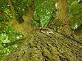 Drei Linden (Ockershausen) auf Marburger Rücken Baumkataster 003 Rinde mit Baumkrone 2016-05-29.jpg