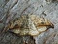 Drepana falcataria - Pebble hook-tip - Серпокрылка берёзовая (26977210888).jpg