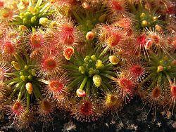 Drosera callistos Brookton 2.jpg