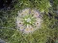 Drosera leucoblasta.jpg