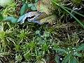 Drosera rotundifolia (4).JPG