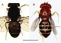 Drosophila caxarumi and Drosophila guaraja (10.3897-zookeys.781.22841) Figure 6.jpg