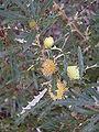 Dryandra squarrosa.JPG