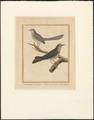 Drymoica maculosa - 1796-1799 - Print - Iconographia Zoologica - Special Collections University of Amsterdam - UBA01 IZAA100179.tif